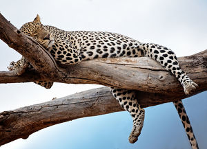 comedy wildlife photography collection/leopard resting tree blue sky samburu kenya