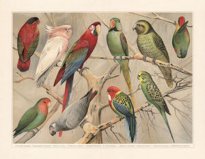 digital vision vectors/bird lithographs/parrots psittaciformes chromolithograph published