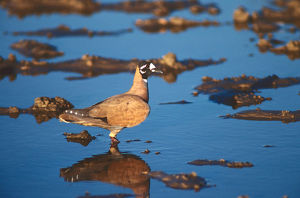 photographer galleries/roger brown/flock bronzewing phaps histrionica