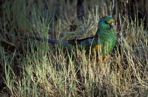 photographer galleries/roger brown/mulga parrot psephotellus varius