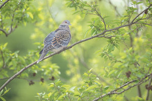 photographer galleries/nature production collection/oriental turtle dove streptopelia orientalis