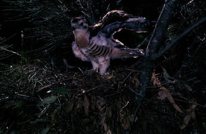photographer galleries/roger brown/pacific baza aviceda subcristata