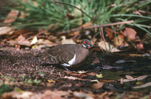 photographer galleries/roger brown/partridge pigeon geophaps smithii