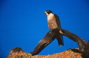 photographer galleries/roger brown/peregrine falcon falco peregrinus
