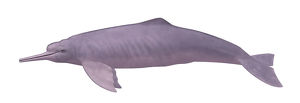 photographer galleries/nature production collection/pink river dolphin inia geoffrensis