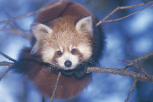 nature production collection/red panda ailurus fulgens portrait resting