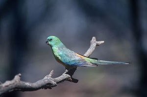photographer galleries/roger brown/red rumped parrot psephotus haematonotus