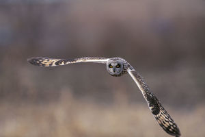 photographer galleries/nature production collection/short eared owl asio flammeus