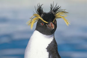 photographer galleries/nature production collection/southern rockhopper penguin eudyptes chrysocome