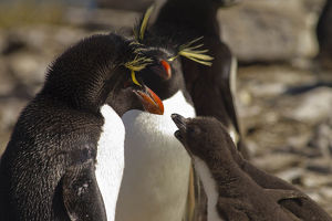 photographer galleries/mary ann mcdonald/southern rockhopper penguin eudyptes chrysocome