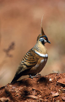 photographer galleries/roger brown/spinifex pigeon geophaps plumifera