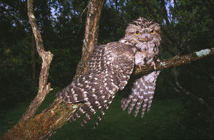 photographer galleries/roger brown/tawny frogmouth podargus strigoides