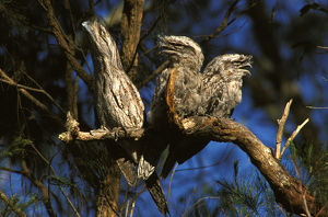 photographer galleries/roger brown/tawny frogmouths podargus strigoides