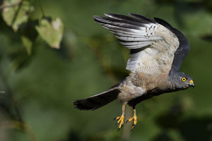 staffan widstrand/chinese sparrowhawk accipiter soloensis flying