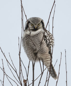 creative set 10/northern hawk owl surnia ulula perched finland