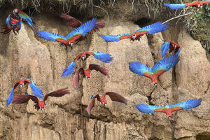 february 2019 highlights/red and green macaw ara chloropterus flock flying