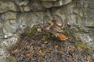 marie read/red tailed hawk buteo jamaicensis pair nest cliff