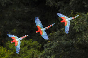 2018 highlights/rf three colourful red and green macaws ara